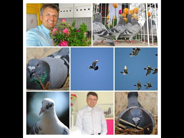 Niezwykły lot z 650 km młodej gołębicy o imieniu Ela tel. 728 465 939