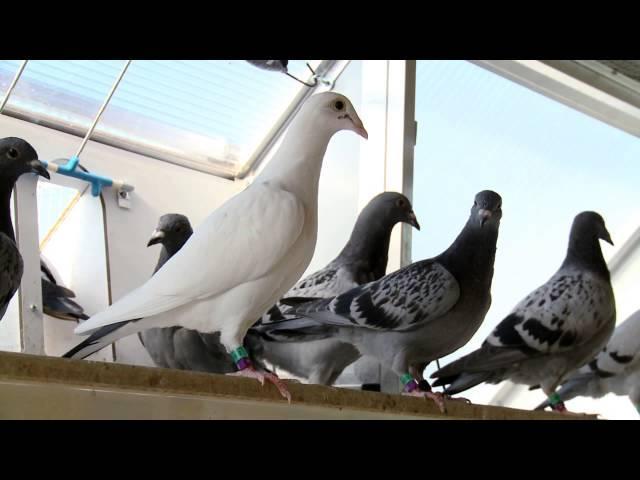 Flagellaten - Gesundheitsvideo der Taubenklinik