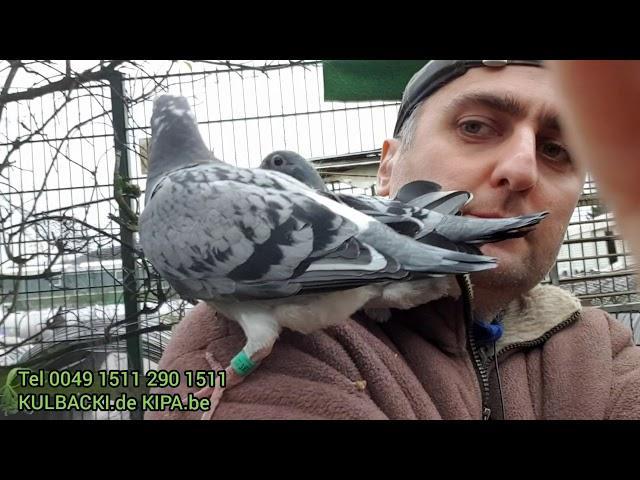 Prawdziwe gołębie sportowe na sprzedaż tel 0049 1511 290 1511 wysylki na twój adres
