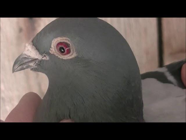 Oskar Janda 0247 Bierawa gołębie z wynikami do nabycia