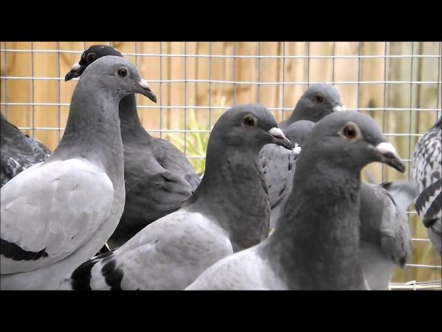 Pigeon Racing Young Bird Team For 2018