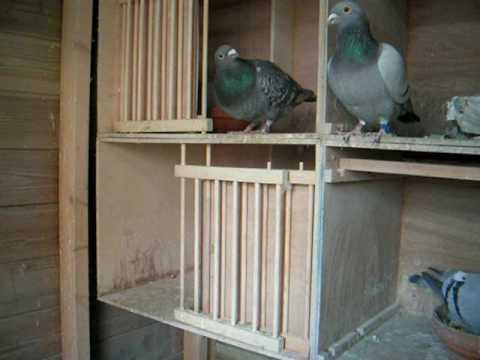 postduiven op nest 2009