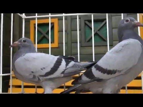 Prezent - gołębie od żony Tel. 728 465 939