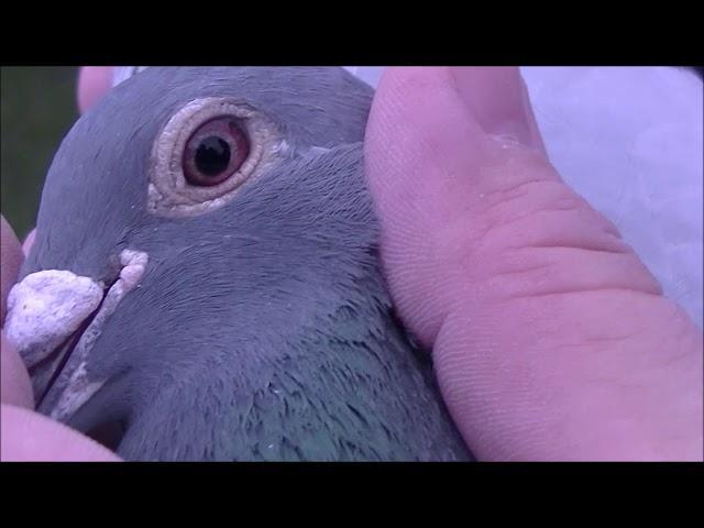 Gardyjas Paweł 0143 Pilchowice prezentacja gołębi lotowych i rozpłodowych