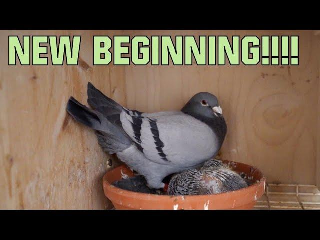 Vlog #84 RACING PIGEONS on the nest