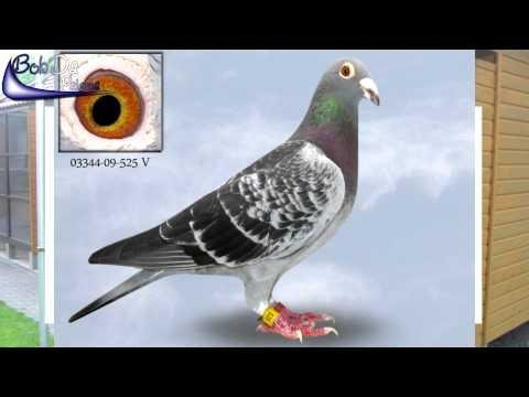 """Peter & Ewald """"Flying-Pigeons"""" Team-Haas & Möse (Germany Club: RV Gelsenkirchen)"""