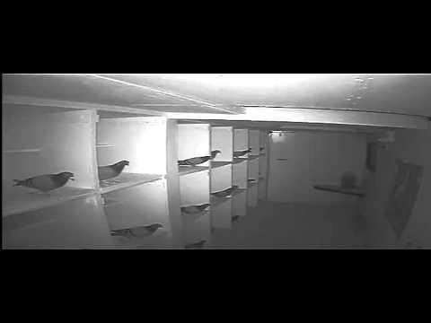 Pigeon theft at Gaston Van de Wouwer's loft (part 2)