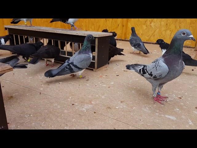 Kiebitze, Luzerner, Brieftauben und Mixe im neuen fast fertigem Taubenschlag