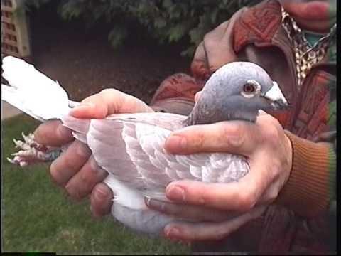 Video 237: Eric Yule of Aberdeen: Premier Pigeon Racer