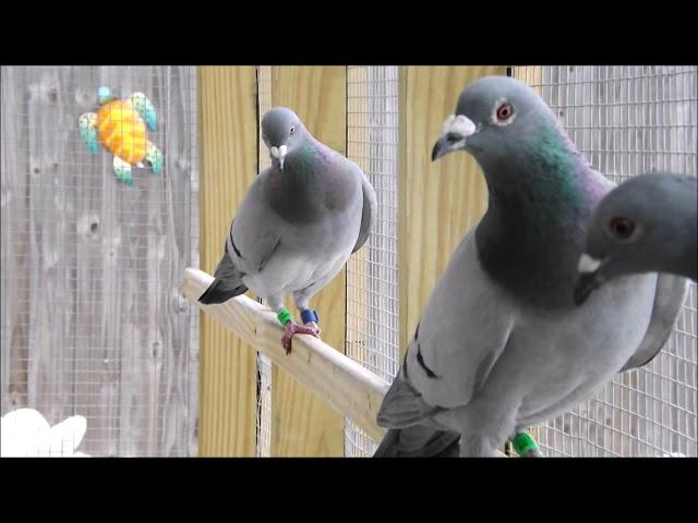 My RACING PIGEONS 2019 LOFT UPDATE