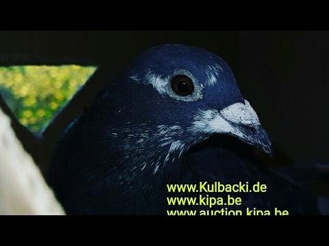 Shipping of Kulbacki pigeons around the world wysyłka rasy Kulbacki tel 0049 1511 290 1511