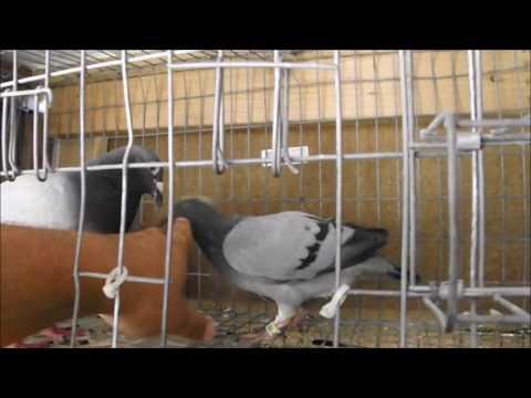 697 Naples 2015 - First Place Winner - Pigeon Racing