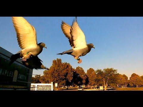 Homing Pigeons Being Released - Southwest Florida Pigeon Racing  Combine - Leesburg