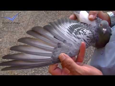 Paco Vercara [Racing Pigeons Loft / Taubenschlag / Palomar] (2013)
