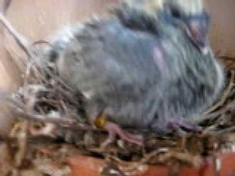 kweek jonge duiven