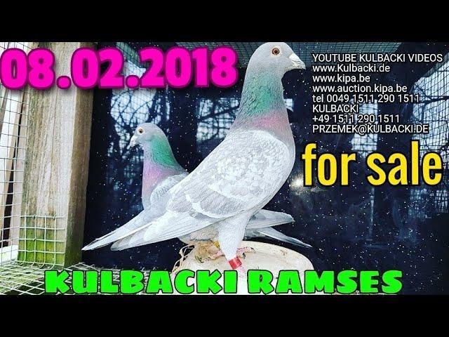 starsze golebie na sprzedaz, older pigeons for sale tel +49 1511 290 1511 zuchttauben verkauf