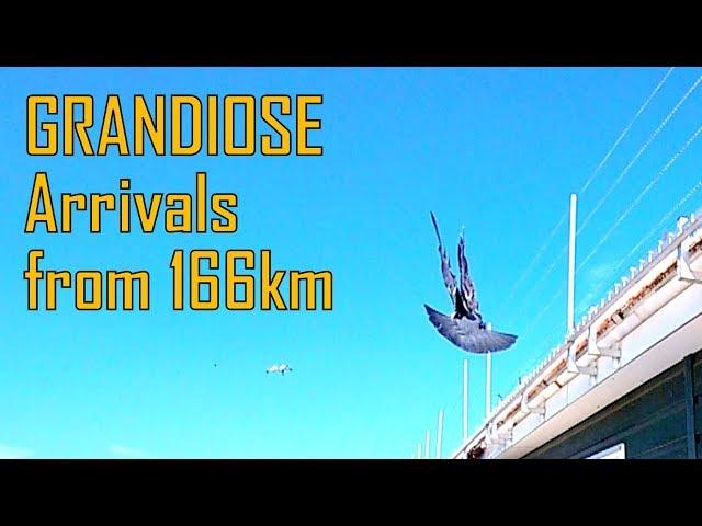 Vlog #56 GRANDIOSE Arrivals Old and Young Pigeons from 166km