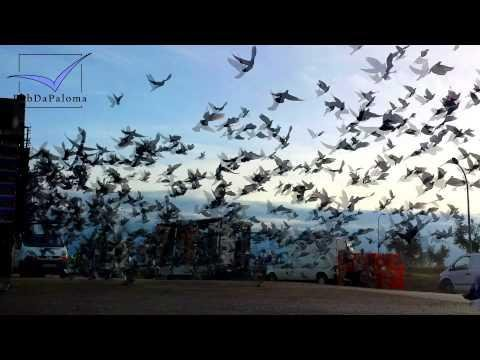 Racing Pigeon Race Regional Andalusia Nambroca, Spain 2014
