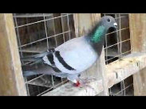Joe Richir Loft   200 Miles Race   Cape Coral, Fl    Pigeon Racing