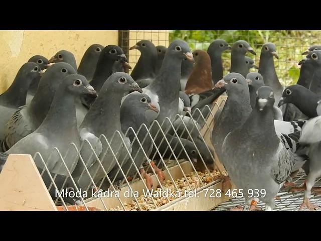 Dowóz szybkich młodych gołębi tel. 728 465 939
