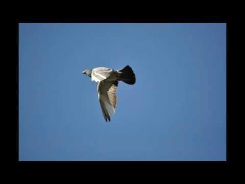 Wyżymacze , gołębie pełne tajemnic tel. 728 465 939