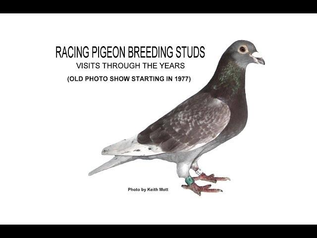 Video 381: Racing Pigeon Breeding Studs