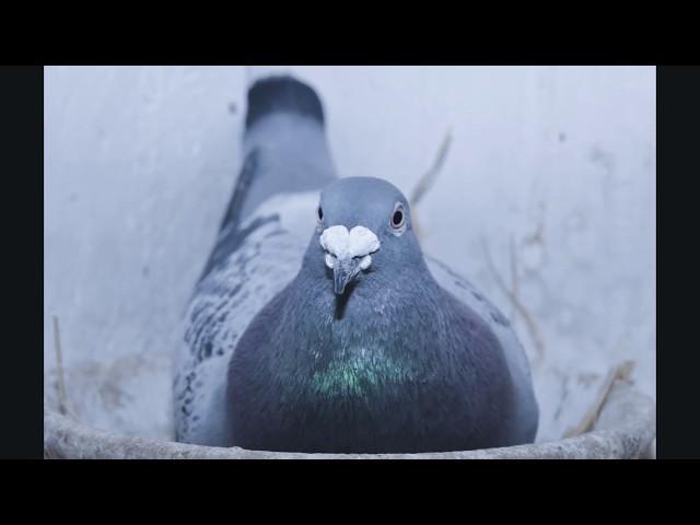 Słoneczny Gołębnik Bogatynia - Rotterdam 735 km  lot młodych gołębi. Tel. 728 465 939