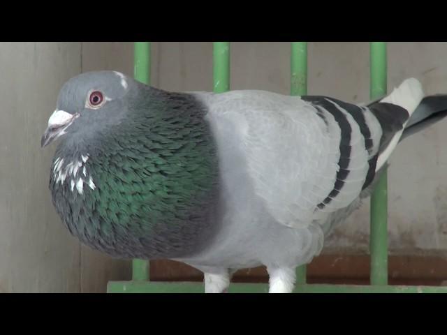 Mistrz z Czech Jurek Svoboda , gołębie roczne klasyczne wdowieństwo