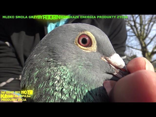 moje marzenie się spełniło MELBOURNE AUSTRALIA my dream is true I have Kulbacki pigeons!