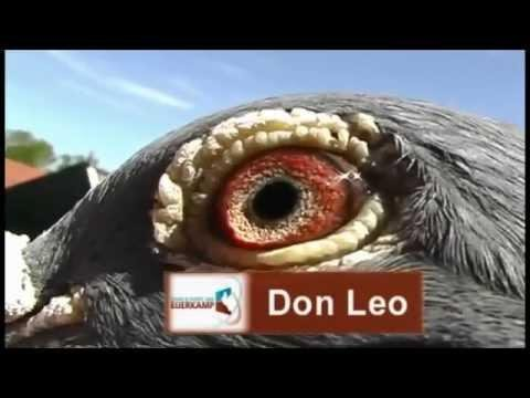 Evert Jan presents Don Leo one of our best Eijerkamp van Loon breeders
