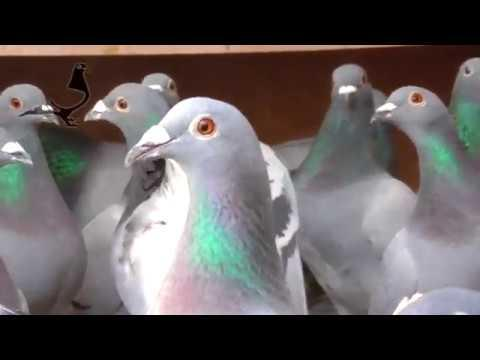 Merry Christmas - Pigeons Condition 21st December