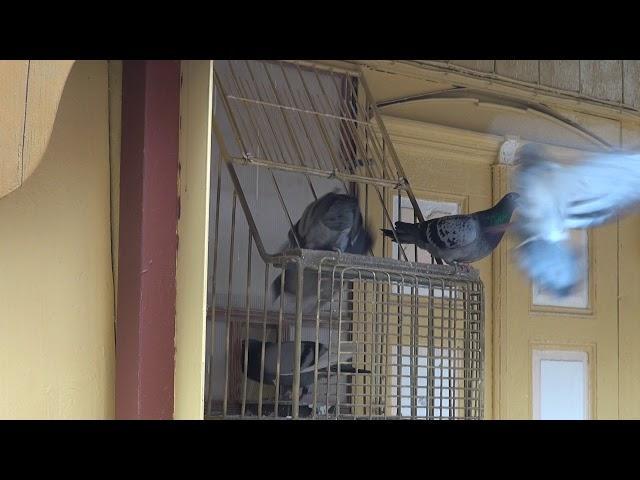 Tajemniczy  lot szybkich gołębi u Ryszarda... tel. 728 465 939
