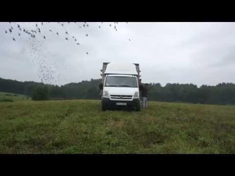 Oddział 0299 Czersk - lot nr 2 gołębi młodych - pojenie gołębi, wypuszczenie, itp. - 04.09.2016r.