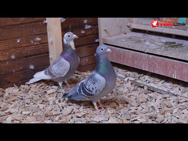 Marek Maciąg PZHGP Biskupiec - gołębie Vercammen, Vos 94/93, Houben, Marcel Albrecht racing pigeons