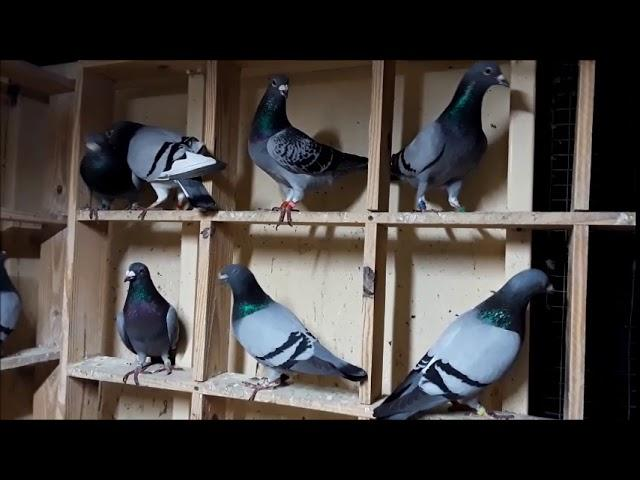 2019 Balth Salts for any type of pigeons.