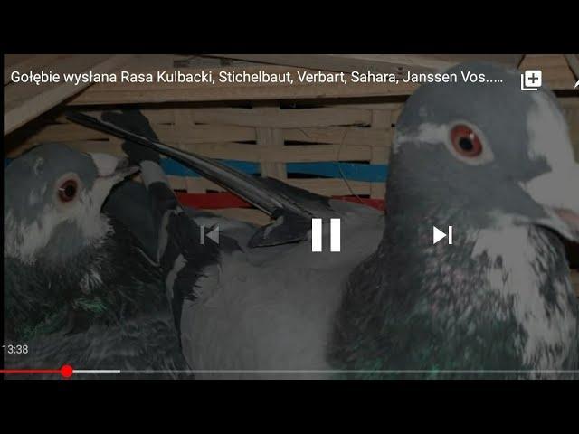 Gołębie wysłana Rasa Kulbacki, Stichelbaut, Verbart, Sahara, Janssen Vos, super roczniaki Germany!!!