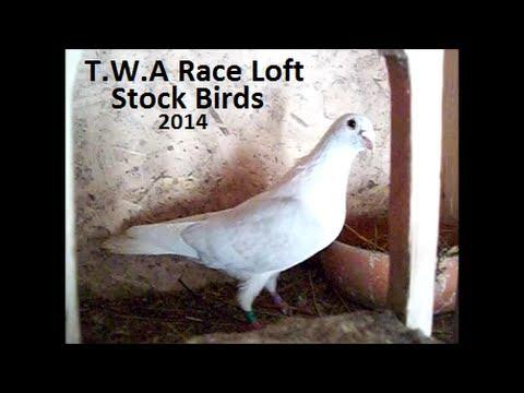 T.W.A Race Loft| Stock Birds 2014