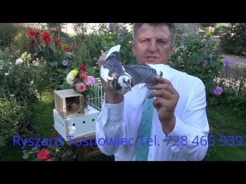 Gołębie Wyżymacze De Lux tel. 728 465 939