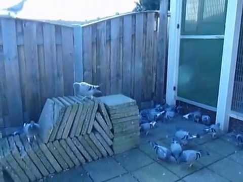 Uitwennen jongen duiven