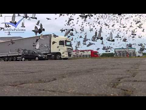 Racing Pigeon Race Liberation German Regional-Association Hannover-Hildesheim in Boczów, Poland 2015