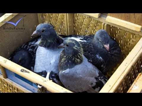 Racing Pigeon Market Lier, Belgium 2014 (Slideshow)