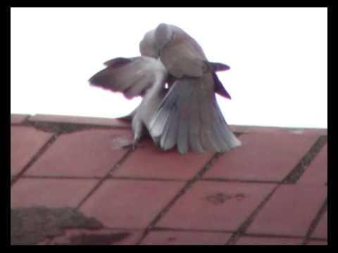 Collared Dove Fight(1)