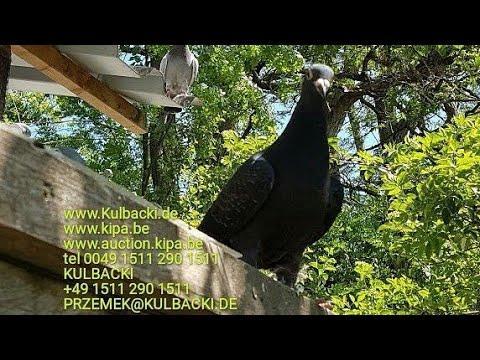 963 Schwarze Tauben Black pigeon CZARNE GOŁĘBIE RODZINA 1.REGIONALVERBAND BLACK PEARL Special breed