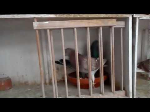 herkoppelen fond duiven