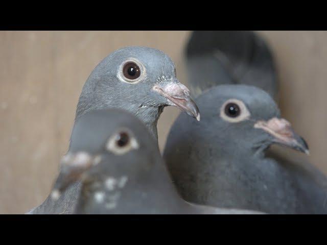 Passie voor duiven