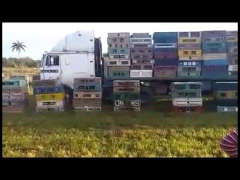 15,000 Racing Pigeons Liberation for Camaguey, Cuba