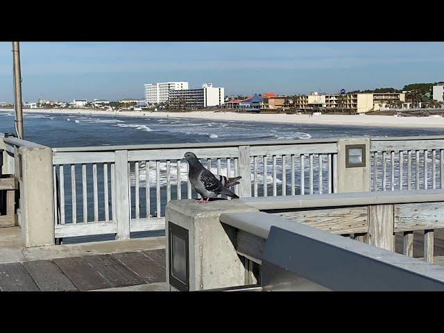 Pigeons ❤ Cooing And Mate ~  On Panama City Beach Florida