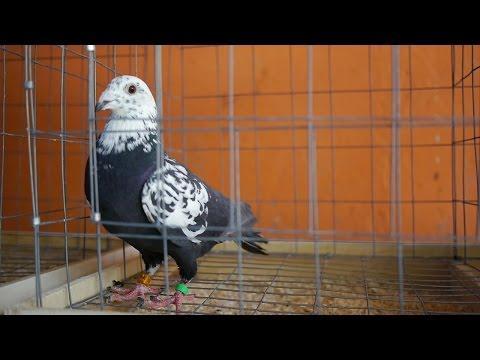 Robert Henkel - Spotkanie z włoskimi hodowcami gołębi