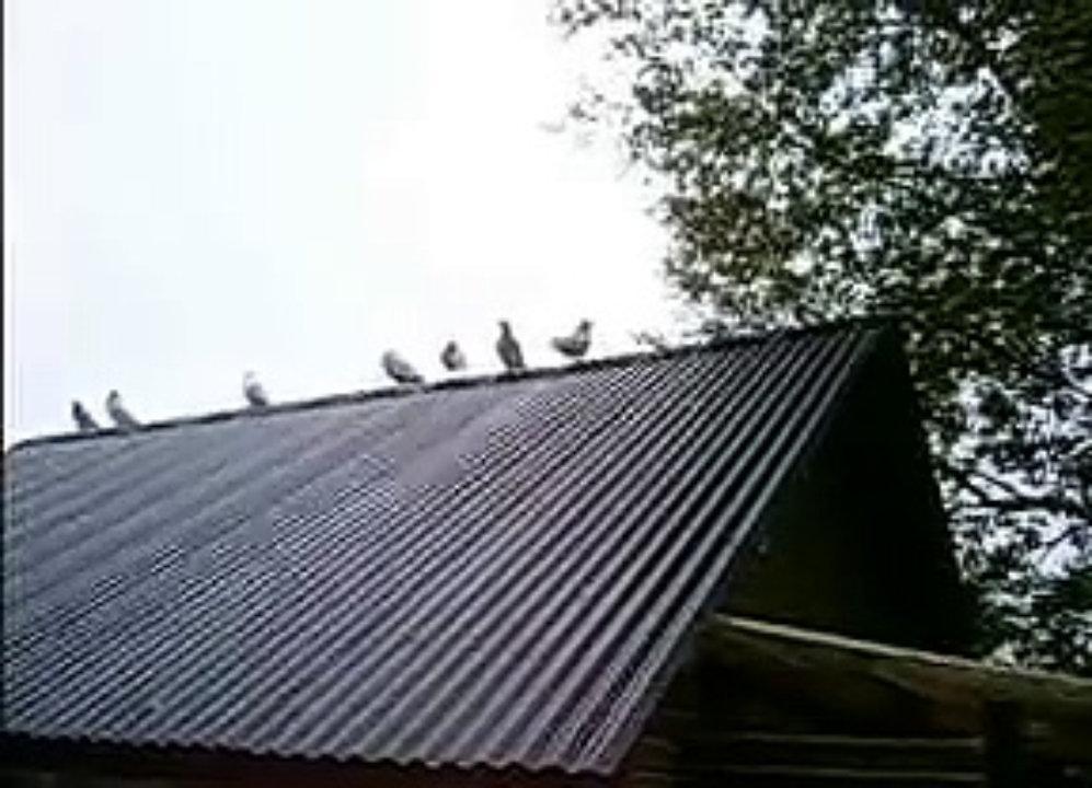 duiven bij chris
