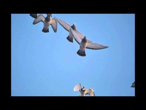 Poranny oblot gołębi - wdowce w zimę - 12 stopni